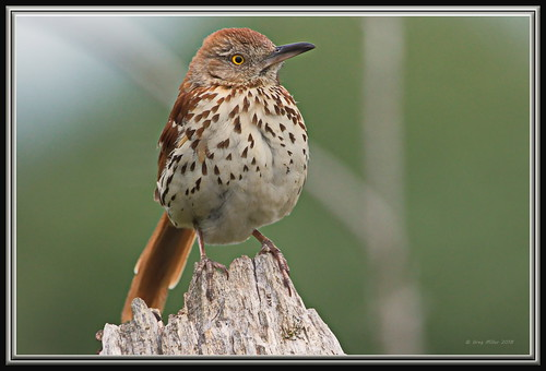 Brown Thrasher | by Gregs eBirds