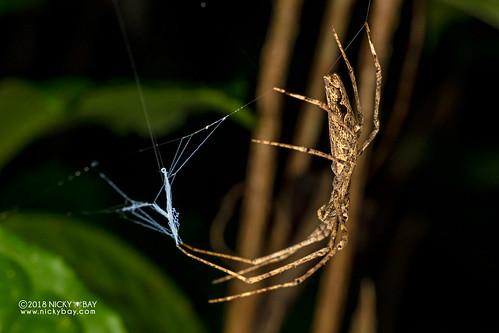 Net-casting spider (Deinopis cf. madagascariensis) - DSC_8780 | by nickybay