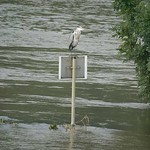 Graureiher (Ardea cinerea) auf einem Schild in den Fluten der Ruhr in der Heisinger Ruhraue