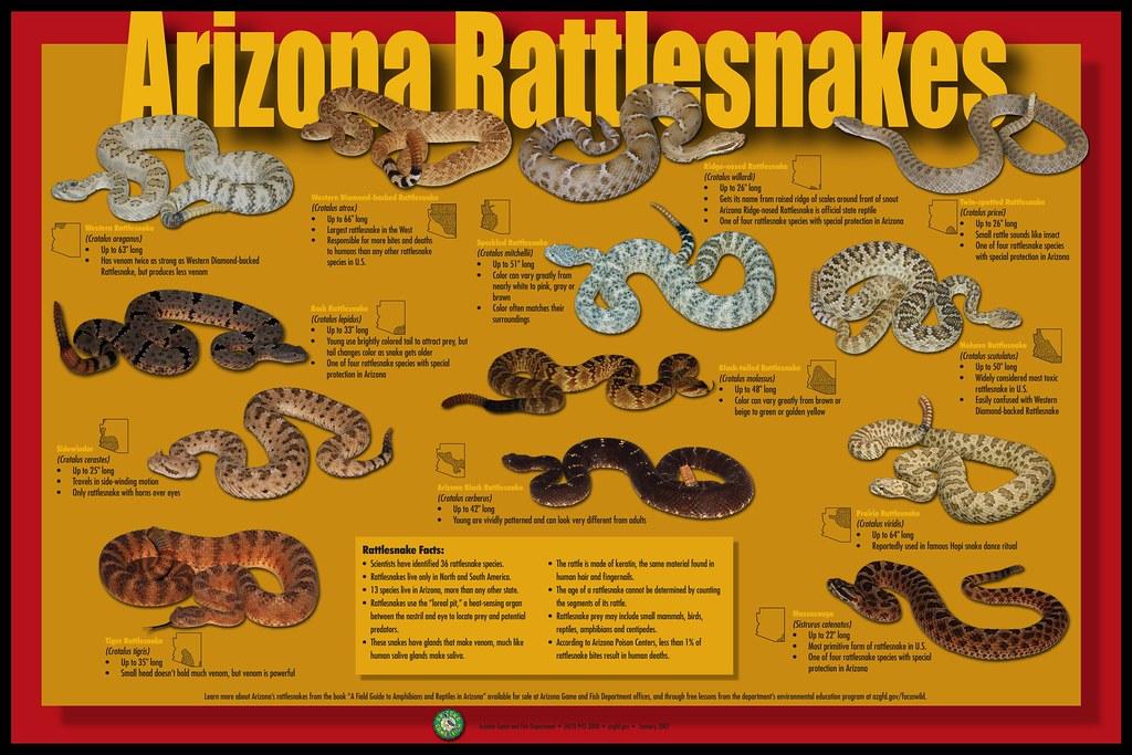 Arizona Rattlesnake Poster 2007 Arizona Game And Fish
