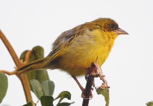 bird birds aves africa kenya nyeri yellow brown closeup weaver feathers beak eyegleam lakenakuru p900 jennypansing inthewild wildlife