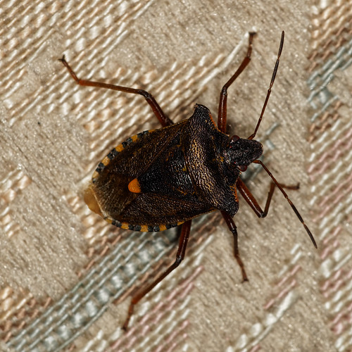 Red Legged Shield Bug; Pentatoma rufipes | by peak4