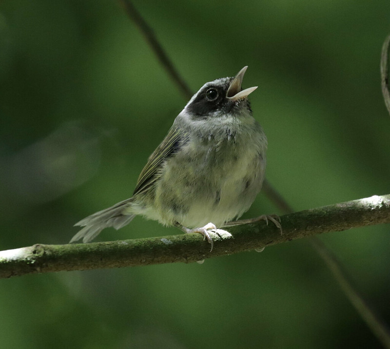 Black-cheeked Warbler, Basileuterus melanogenys_199A4238