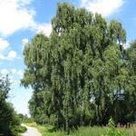 Hänge-Birke (Betula pendula) an einem Weg im Gleispark Frintrop