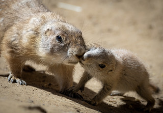 Juvenile & adult Black-tailed Prairie Dogs (Cynomys ludovicianus) kissing | by Wade Tregaskis