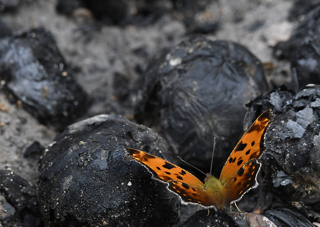 orange butterfly, black coals and ashes