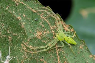 Green crab spider (Oxytate sp.) - DSC_9405 | by nickybay