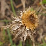 Vorjährige Golddistel (Carlina vulgaris) auf der Schurenbachhalde