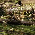 Stattlicher Teichfrosch (Pelophylax esculentus) in der Heisinger Ruhraue
