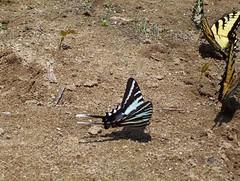 Zebra Swallowtail | by gawnesco