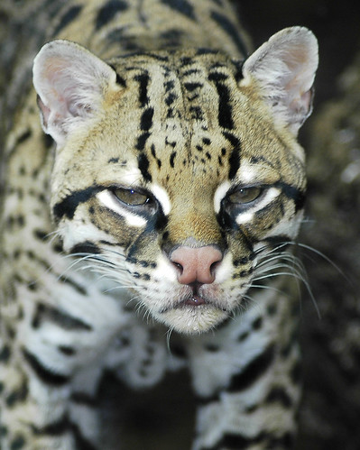 Ocelot | by ucumari photography
