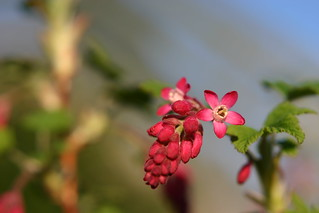 Ribes. | by Dreamtroll