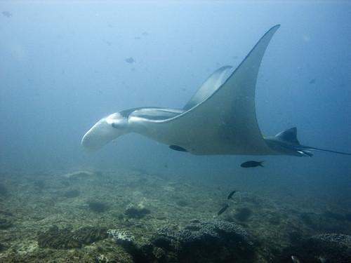manta ray   by jon hanson