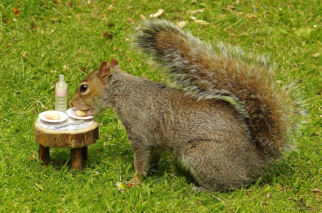 grey squirrel with picnic table  (1)