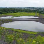 Im oberen Bereich der Halde Rheinelbe gibt es mehrere Tümpel, in denen unter anderem Kreuzkröten leben