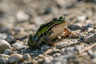 Frog / Frosch   by NEX69