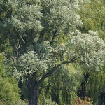 Baum am Ufer der Ruhr;