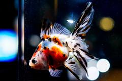 Calico Fantail (goldfish) of Sumida Aquarium in Tokyo Sky Tree Town : キャリコリュウキン(東京スカイツリータウン・すみだ水族館)