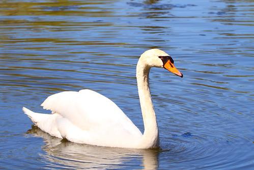 mute swan millpondpark