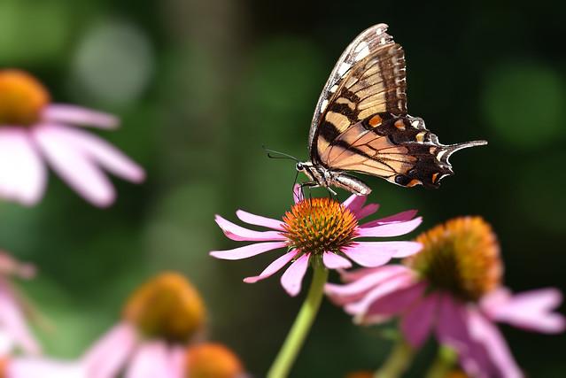 Morning Swallowtail