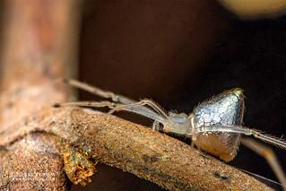 Mirror spider (Thwaitesia sp.) - DSC_7770