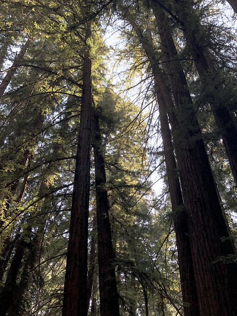 Magnificent Coast Redwoods