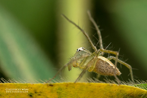 Lynx spider (Oxyopes sp.) - DSC_1118 | by nickybay