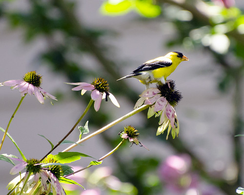 goldfinch3 | by Chris Garrity
