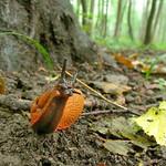 Rote Wegschnecke (Arion rufus) im NSG Thielenbruch und Thurner Wald