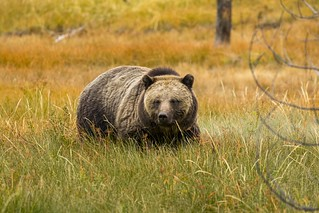 Grizzly Bear Cub   by Xiang&Jie