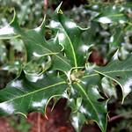 Europäische Stechpalme (Ilex aquifolium) im Schellenberger Wald