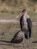 Marabou Stork by Patrick Gregerson