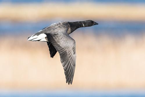 brentgoose england europe frampton framptonmarshrspb greatbritain lincolnshire rspb bird fauna goose