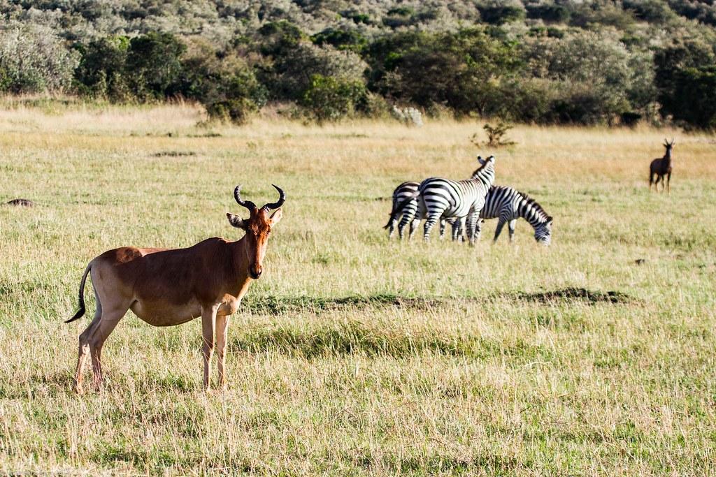 Maasai Mara_13sep18_09_hartebeest