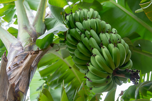 Bananas. Mto wa Mbu   by Laura Jacobsen