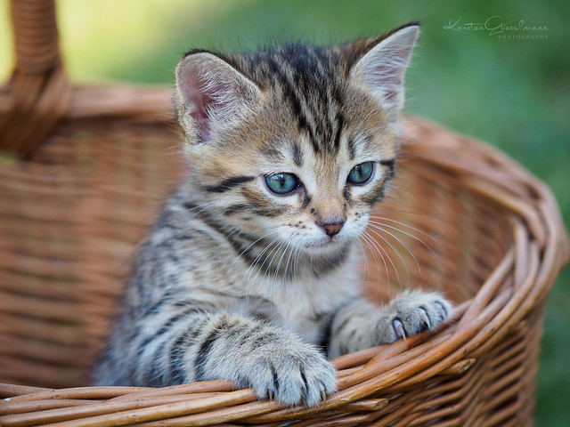 Bas-cat