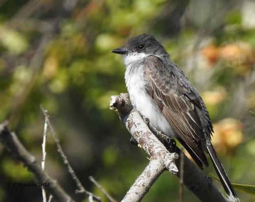 bird easternkingbird fishcreekpark pamhawkes