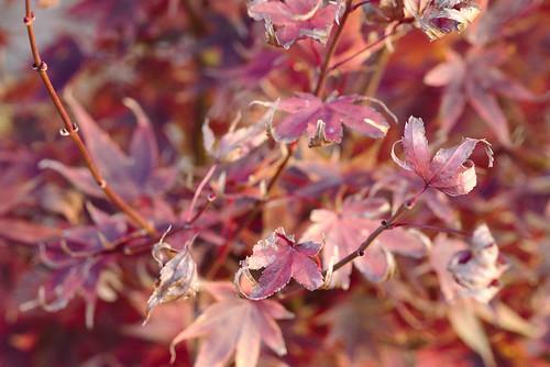 Japanese maple | by aenigmatēs