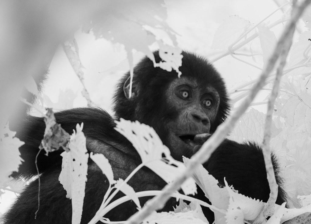 Gorilla IR_47