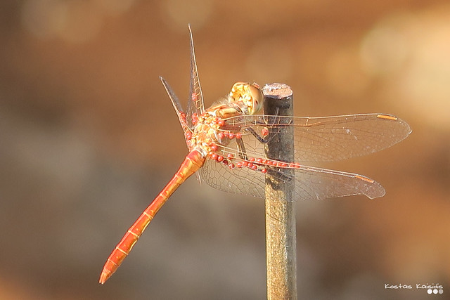 Dragonfly..., on a summer day.