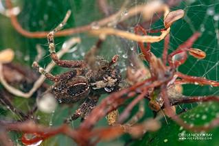 Nursery web spider (Pisauridae) - DSC_0593   by nickybay