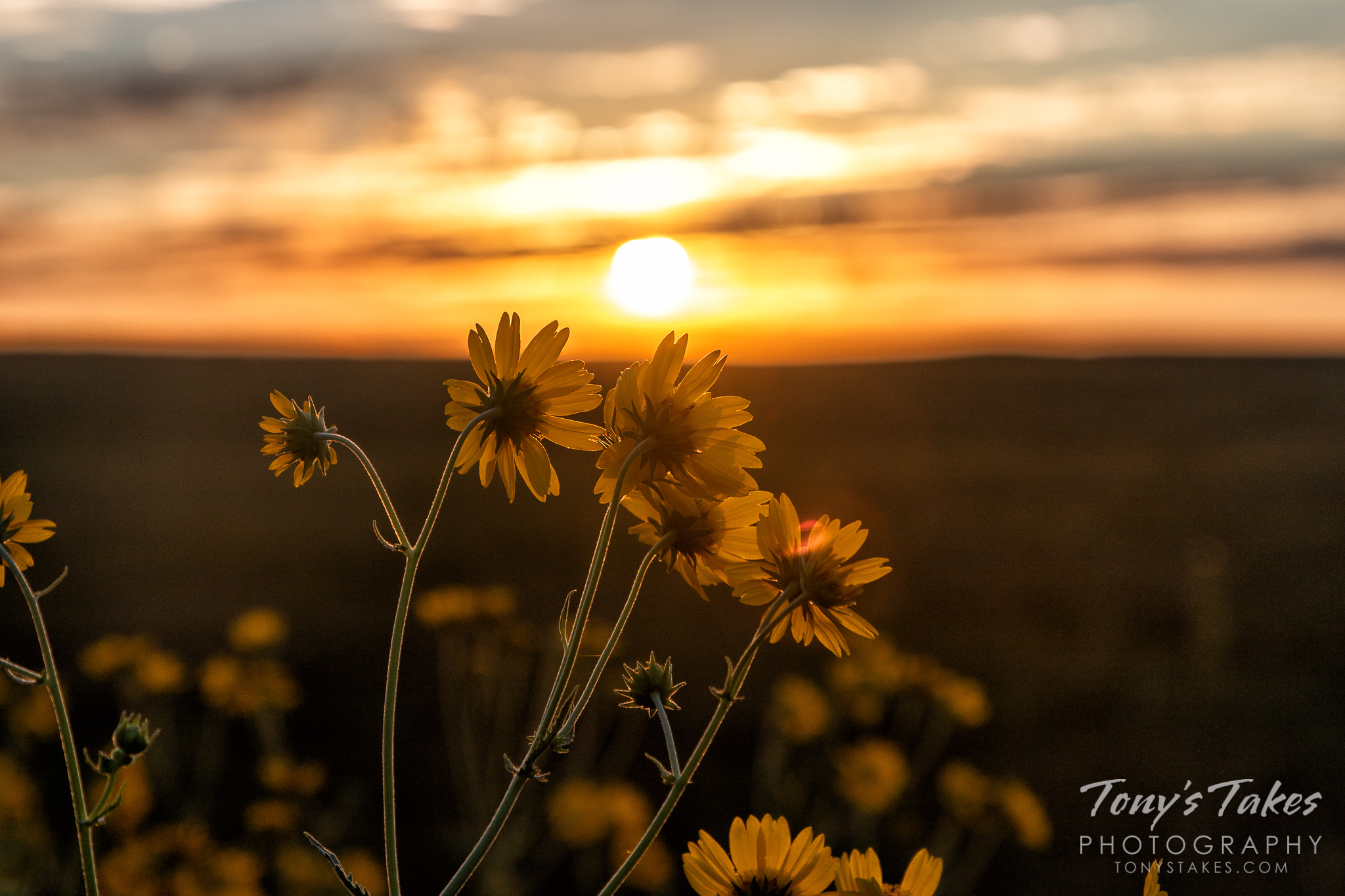 Wild sunflowers greet sunrise on the Colorado plains. (© Tony's Takes)