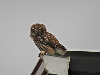 night owl (2)