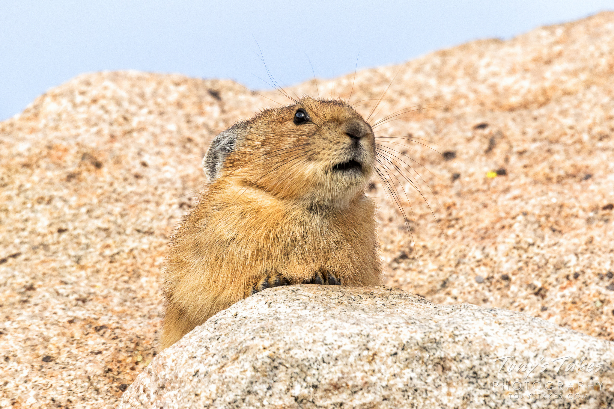 An American Pika takes a break from gathering food for the winter on Mount Evans in Colorado.  (© Tony's Takes)