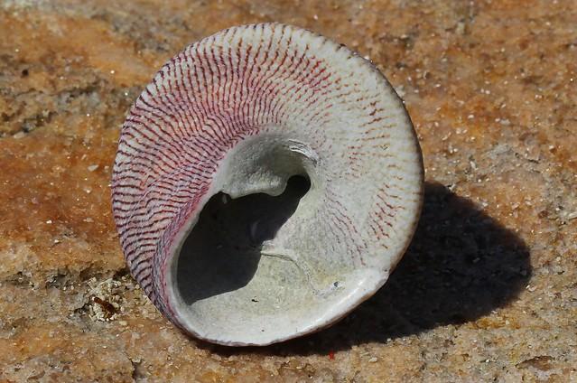 Hanley's Trochus shell - Trochus hanleyanus (2)