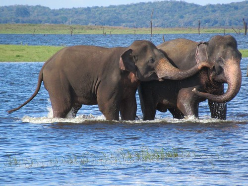 Elephants in Kaudulla Wewa | by D-Stanley
