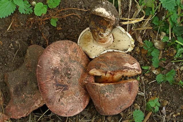 Allopsalliota geesterani ''Magic Button Mushroom'' Whitlingham 10.9.2018 (12)