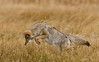 Leaping Coyote by Dick Shaffer