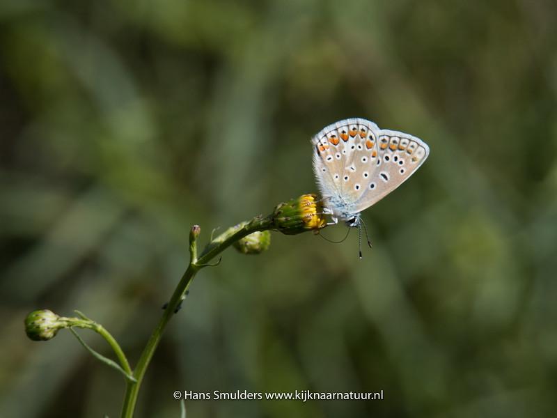 Icarisblauwtje (Polyommatus icaris)-818_5715
