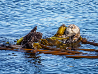 Sea Otter in Kelp   by itsmarykate